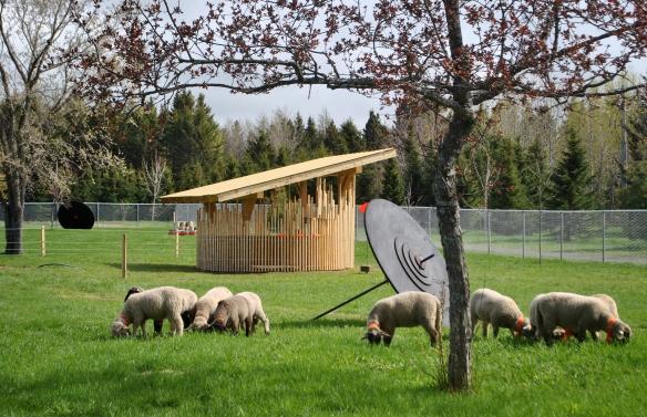 Dix Moutondeuses ont la tâche d'entretenir quelques pelouses près du stationnement des visiteurs. Crédit photo: Sylvain Legris